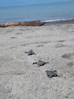 Baby sea turtles make their way to the beach in Puerto Vallarta | by vallartavelas