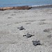Baby sea turtles make their way to the beach in Puerto Vallarta