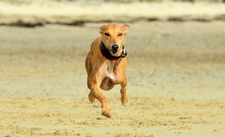3 Legged Lurcher At High Speed | by TopSausageLobber