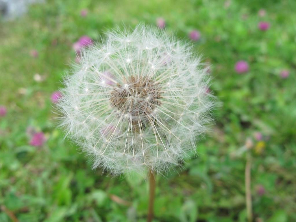 contemporary dandelion head floral - photo #9