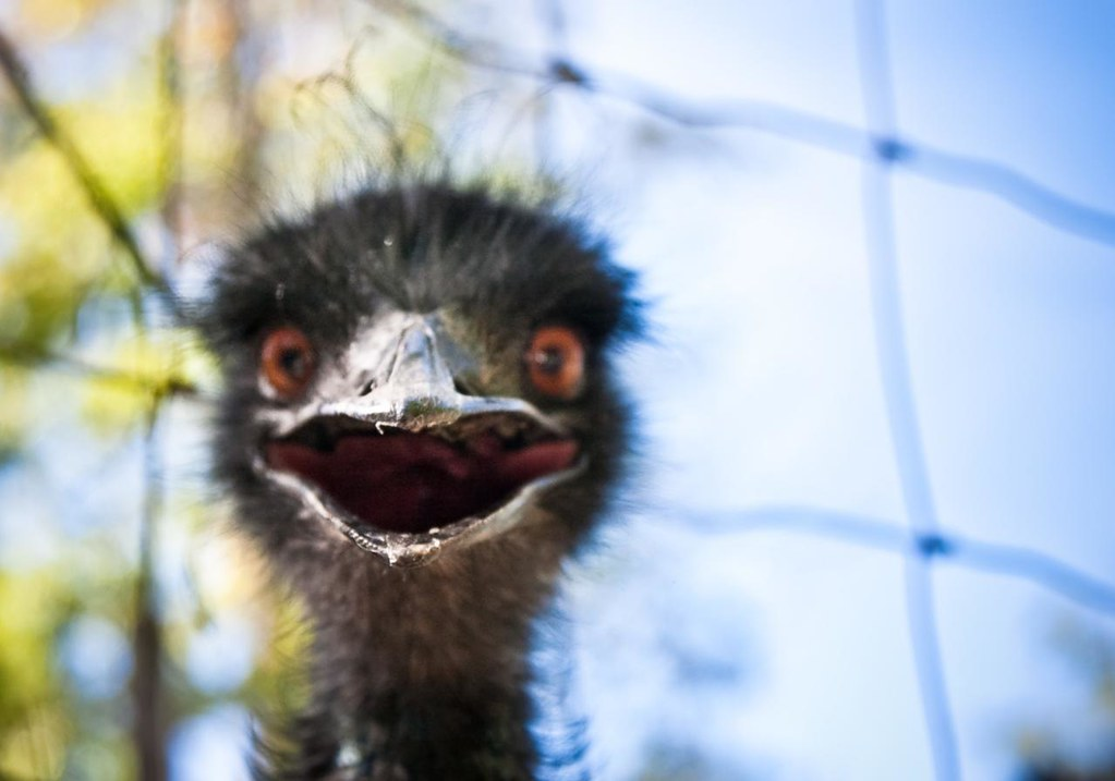 a very emo emu | I visited the Berkshire Bird Paradise yeste… | Flickr
