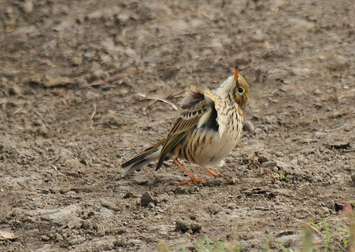 Meadow Pipit (anthus pratensis) | by bojangles_1953