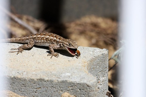 1fence lizard & bee dave harper oakley | by Contra Costa Times
