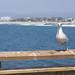 Venice Beach - Bird 2