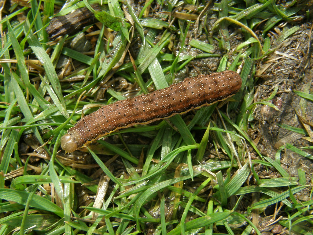 a brown caterpillar beating the bounds flickr