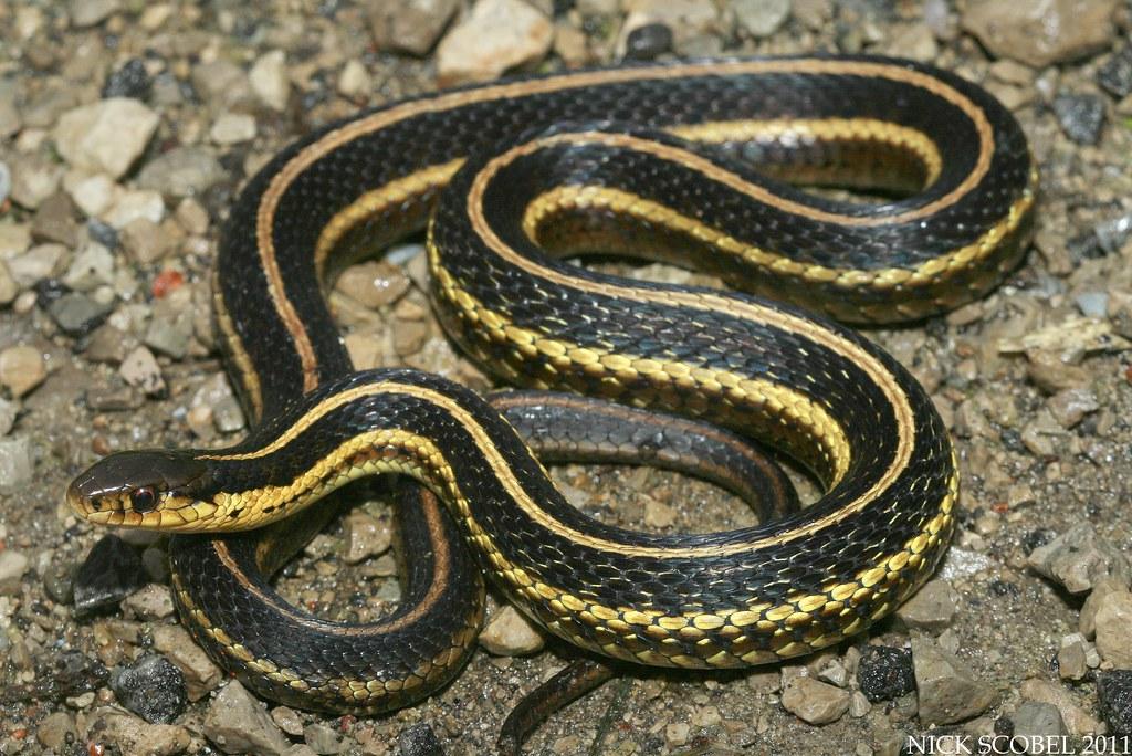 Butler S Garter Snake Thamnophis Butleri September 2011