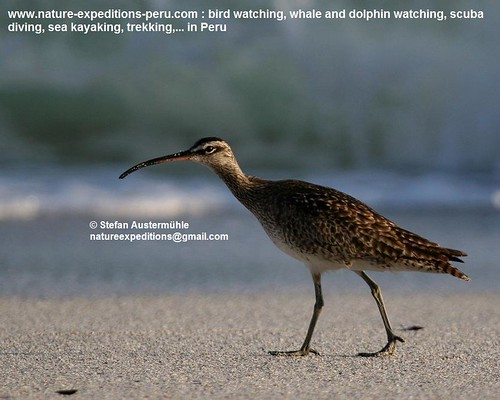 Whimbrel Birding Peru (4) | by Nature Expeditions 06