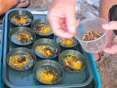 Preparing food dishes for captured Millerbirds