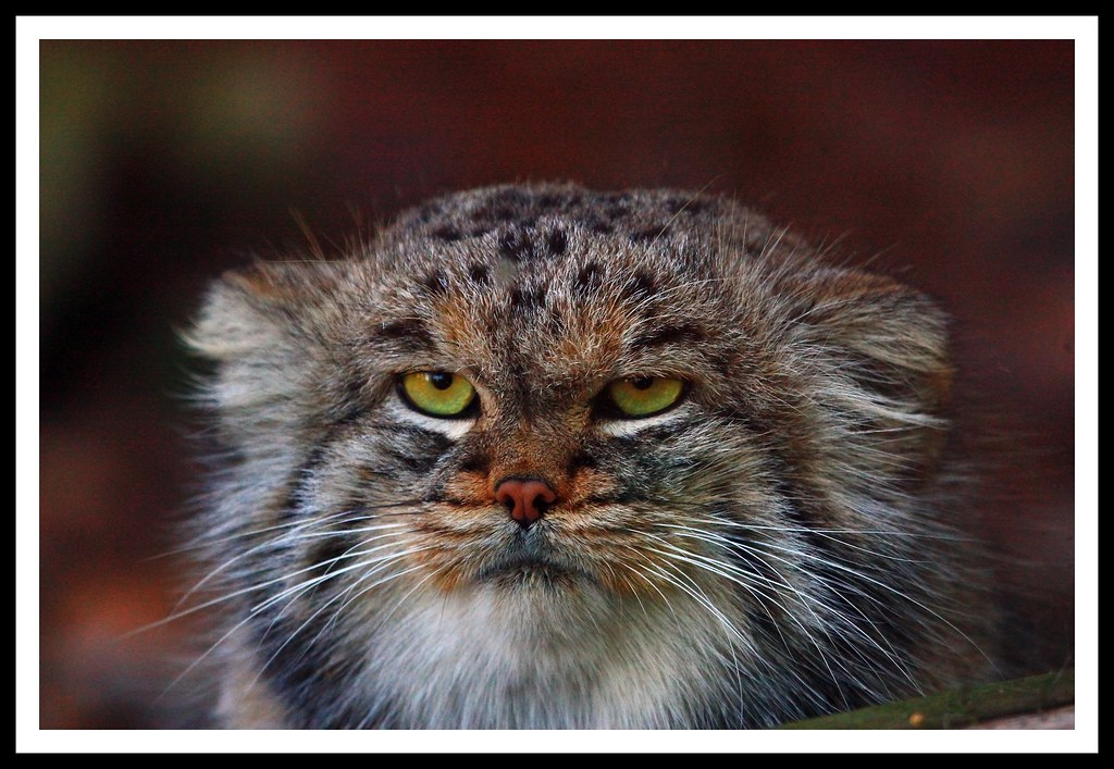 Pallas Cat Kittens Video