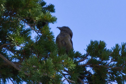Red Crossbill, Crater Lake | by nestwatcher