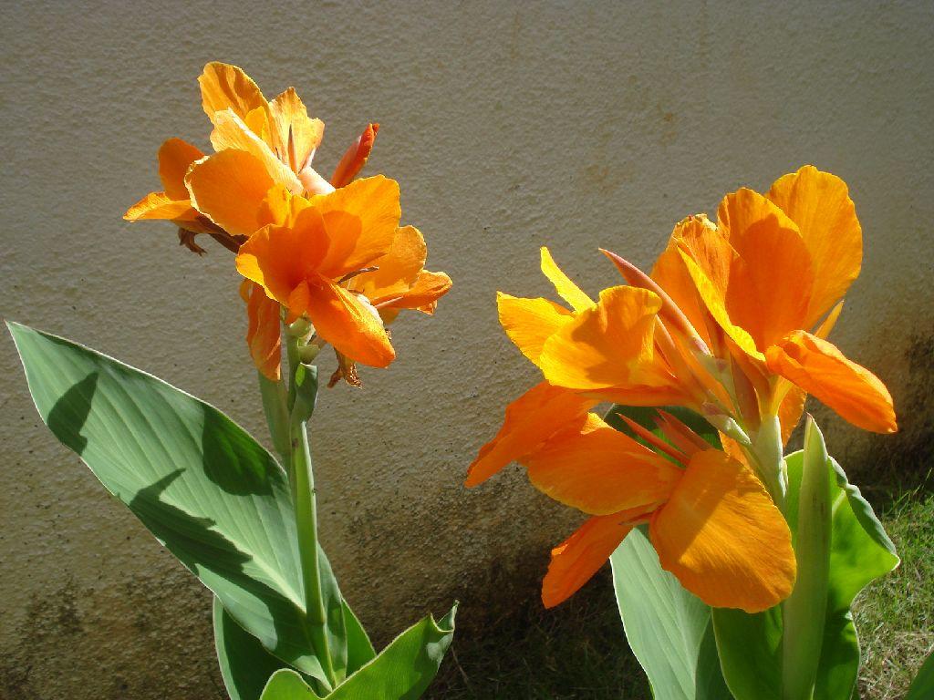 Canna flower canna lily or canna flower canna flower o flickr canna flower canna lily or canna flower by anulals natural photos izmirmasajfo