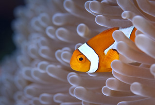 Anemonefish in a white anemone | by Alastair Pollock