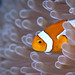 Anemonefish in a white anemone