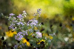 286:365 Autumn flowers