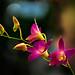 DSC_0402_351 Dendrobium spp.