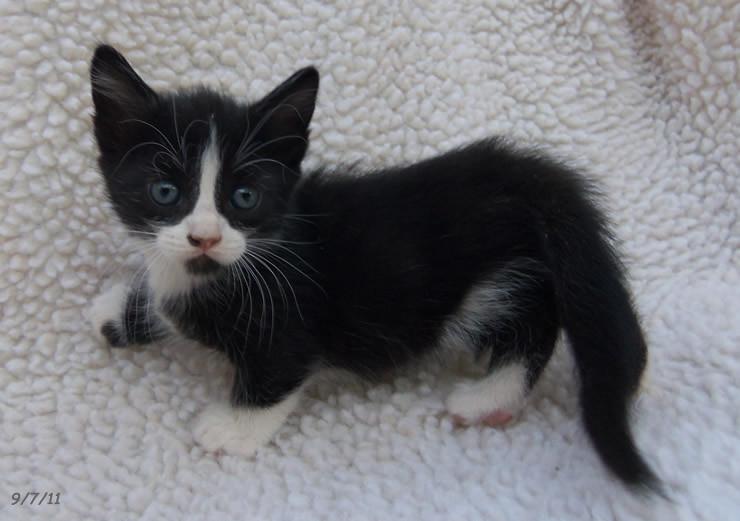 My Makeup Blog: makeup, skin care and beyond: Funny Friday ...  |Tuxedo Munchkin Cat Kittens