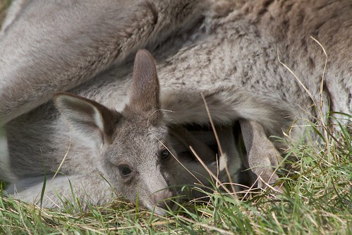 kangaroo pic 6 / 8 | by 666philly - time out....