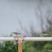 20110920_022 Gray-tailed Tattler, 黃足鷸
