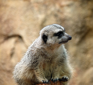 Worried meerkat | by jenthelibrarian