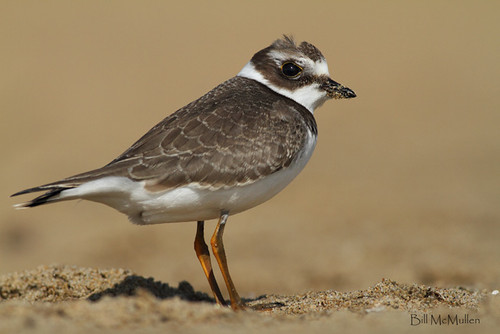 Semipalmated Plover Full Frame | by Bill McMullen