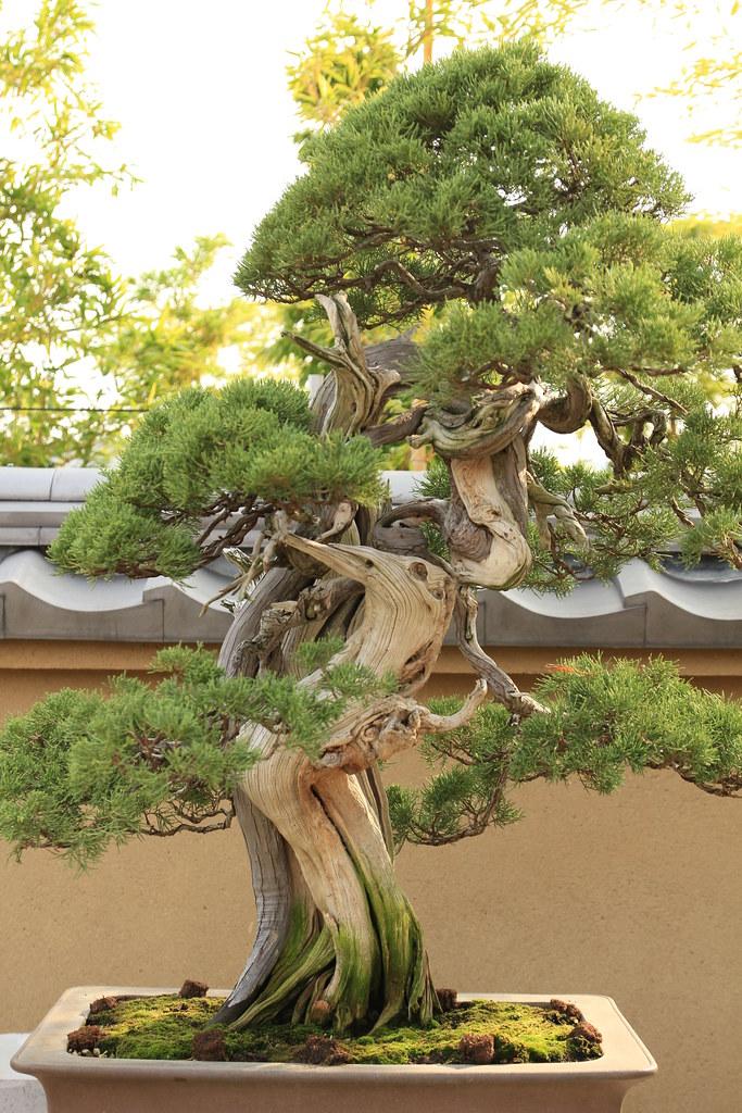 真柏 Shimpaku (Japanese Juniper) - 盆栽美術館 - bonsai museum ...