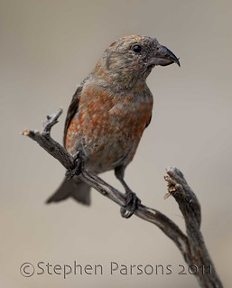 Red Crossbill (Loxia curvirostra) | by Wandering Sagebrush