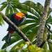 Tucano-de-bico-preto (Ramphastos vitellinus)