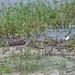 20110920_015 Common Redshank, 赤足鷸