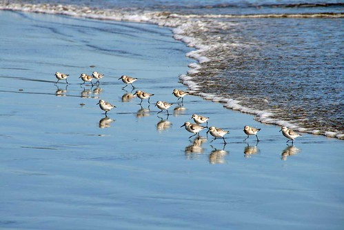 Sandpipers | by losy