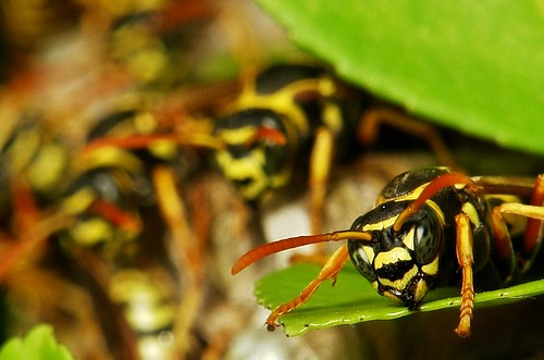 Paper Wasps (Vespidae) guarding their nest | by John Horstman (itchydogimages, SINOBUG)