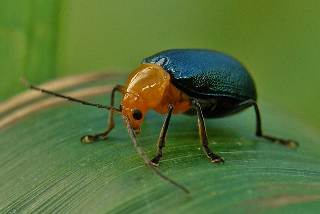Leaf Beetle Chrysomelid Leaf Beetl...