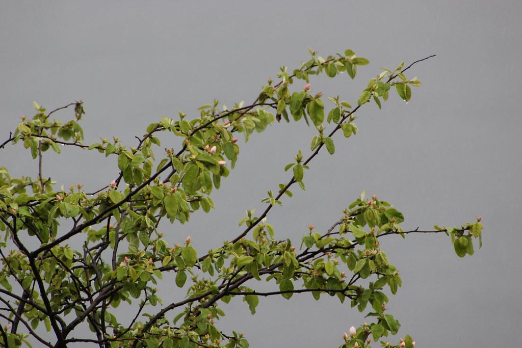 Brotes de un rbol de membrillo flickr - Arbol de membrillo ...
