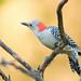 _53F7741 Red-bellied Woodpecker female