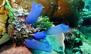 Sea Squirts (Rhopalaea sp.) | by berniedup