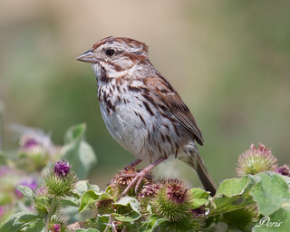 Song Sparrow | by claybuster1(doing good just very busy)