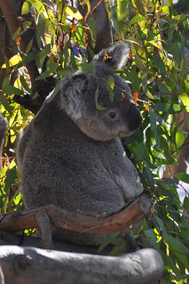 Queensland Koala | by PirateTinkerbell