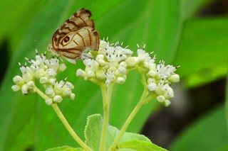 Owl Eyed Butterfly & Wildflowers | by REDFISH1223