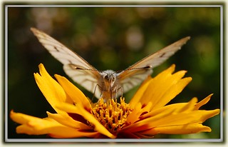 Butterfly on yellow flower - cropped version | by *Psyche Delia*