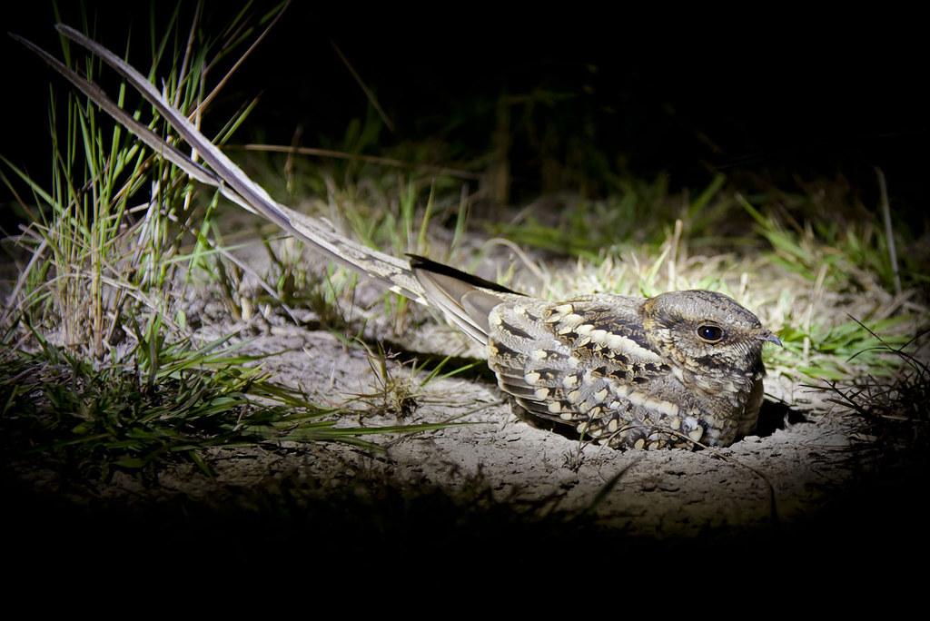 Tailed Nightjar Scissor-tailed Nightjar