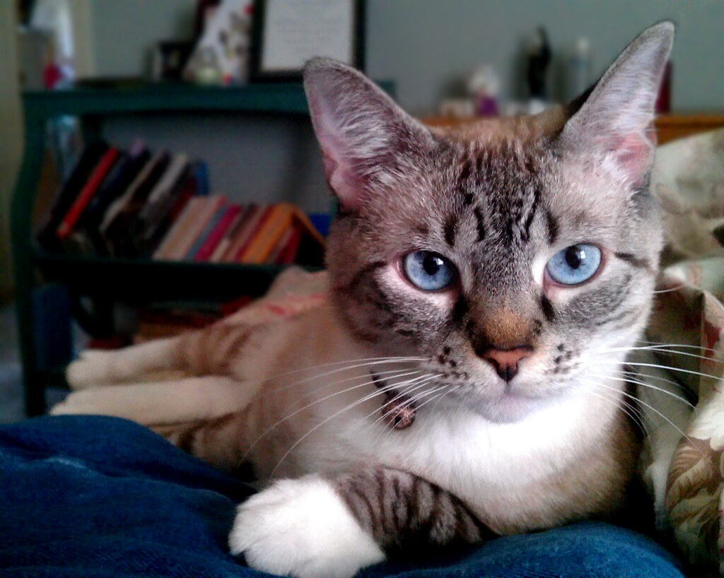 Rescue Siamese Cat Shelter Winnipeg Mb