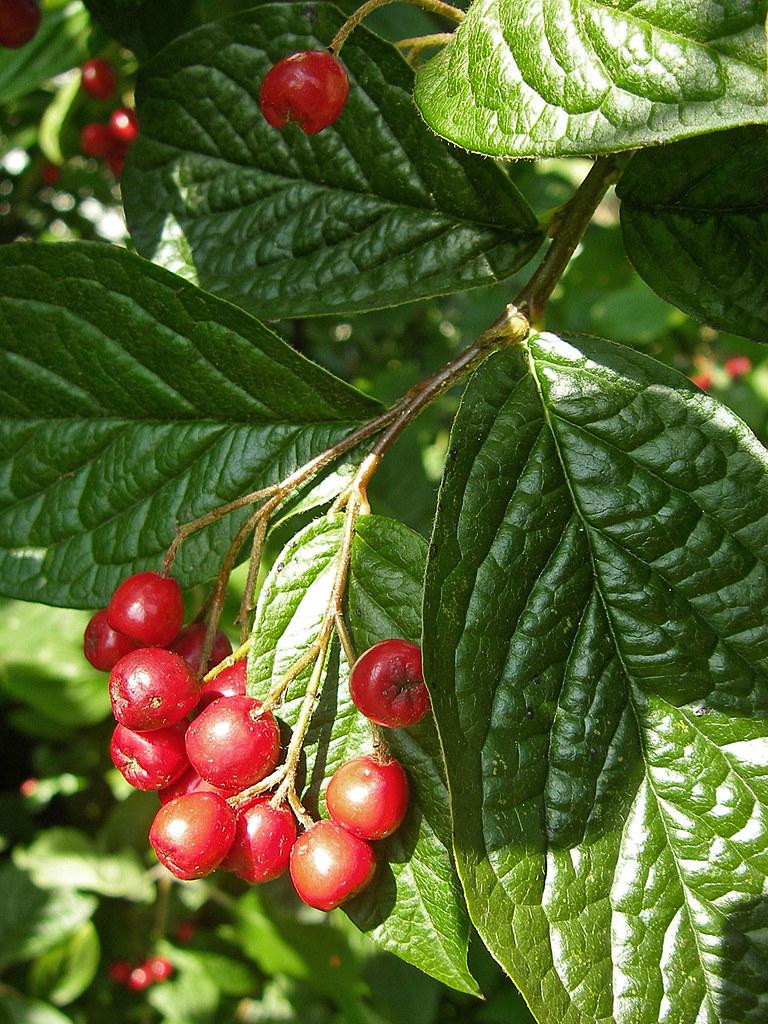 Unbekannter strauch mit roten beeren von den fr chten her flickr - Zimmerpflanze mit roten blattern ...