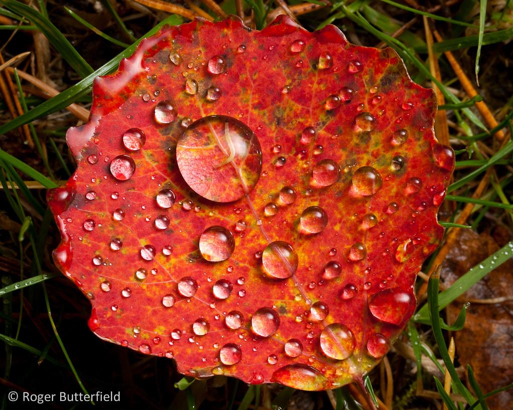Червоний лист осики