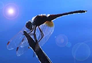Dragonfly | by Marcello Bardi