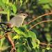 Gray Catbird 20111011