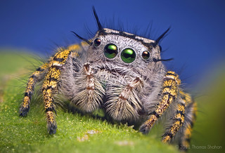 Adult Female Jumping Spider - Phidippus mystaceus | by Thomas Shahan