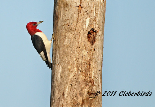 Red-Headed Woodpecker - Melanerpes erythrocephalus | by Cleber C. Ferreira