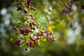 Berries | by Paisley patches