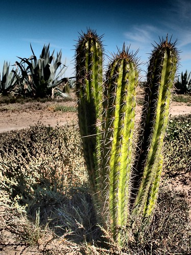 Spiky Cactus - South Africa Eastern Cape | by neeravbhatt