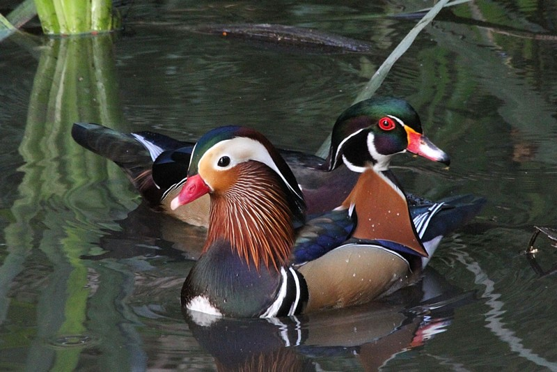 Best buddies mandarin wood duck males los angeles for Wood in chinese