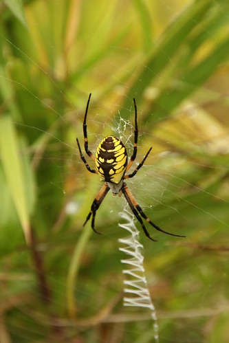 Black Spider With Neon Yellow On Back Pictures to Pin on ...
